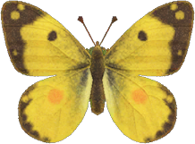 Animal Crossing: New Horizons Yellow Butterfly Bug