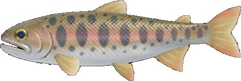 Animal Crossing: New Horizons Cherry Salmon Fish